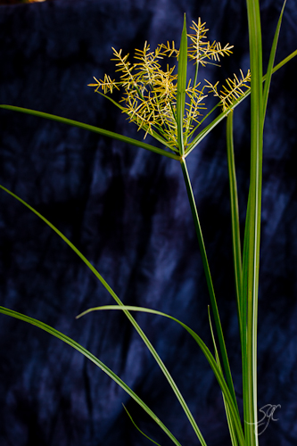 Nut Sedge