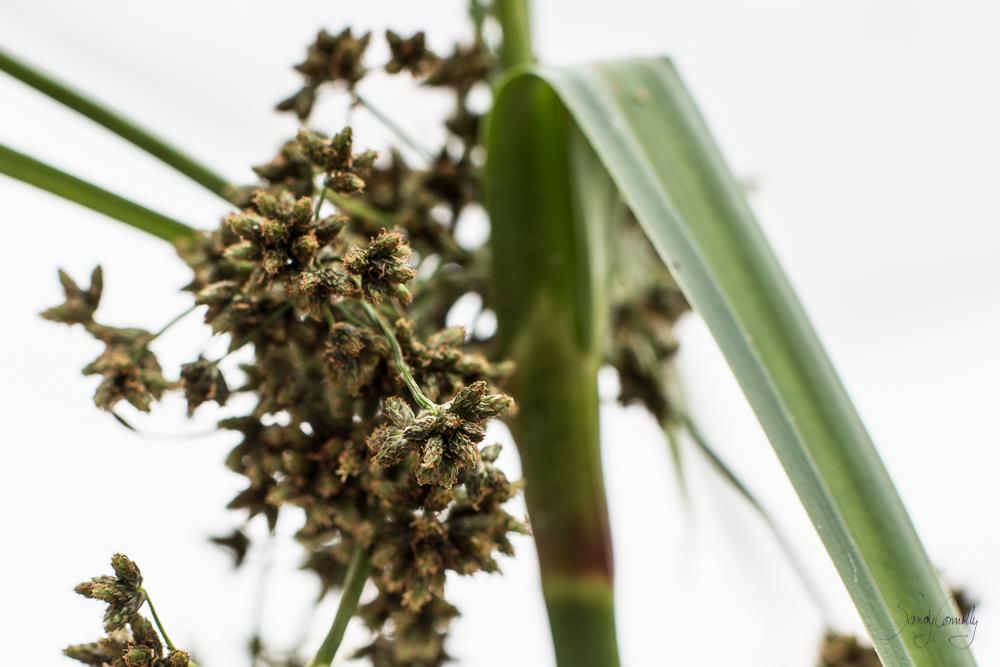 Barberpole Sedge (Scirpus microcarpus)