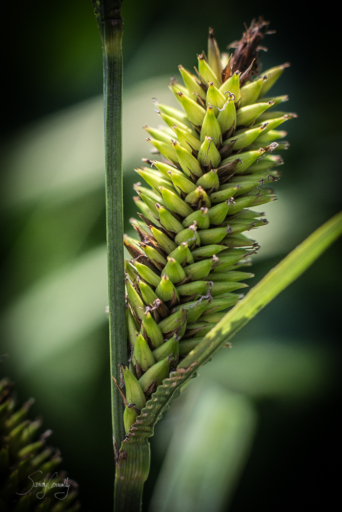 Shallow Sedge (Carex lurida)