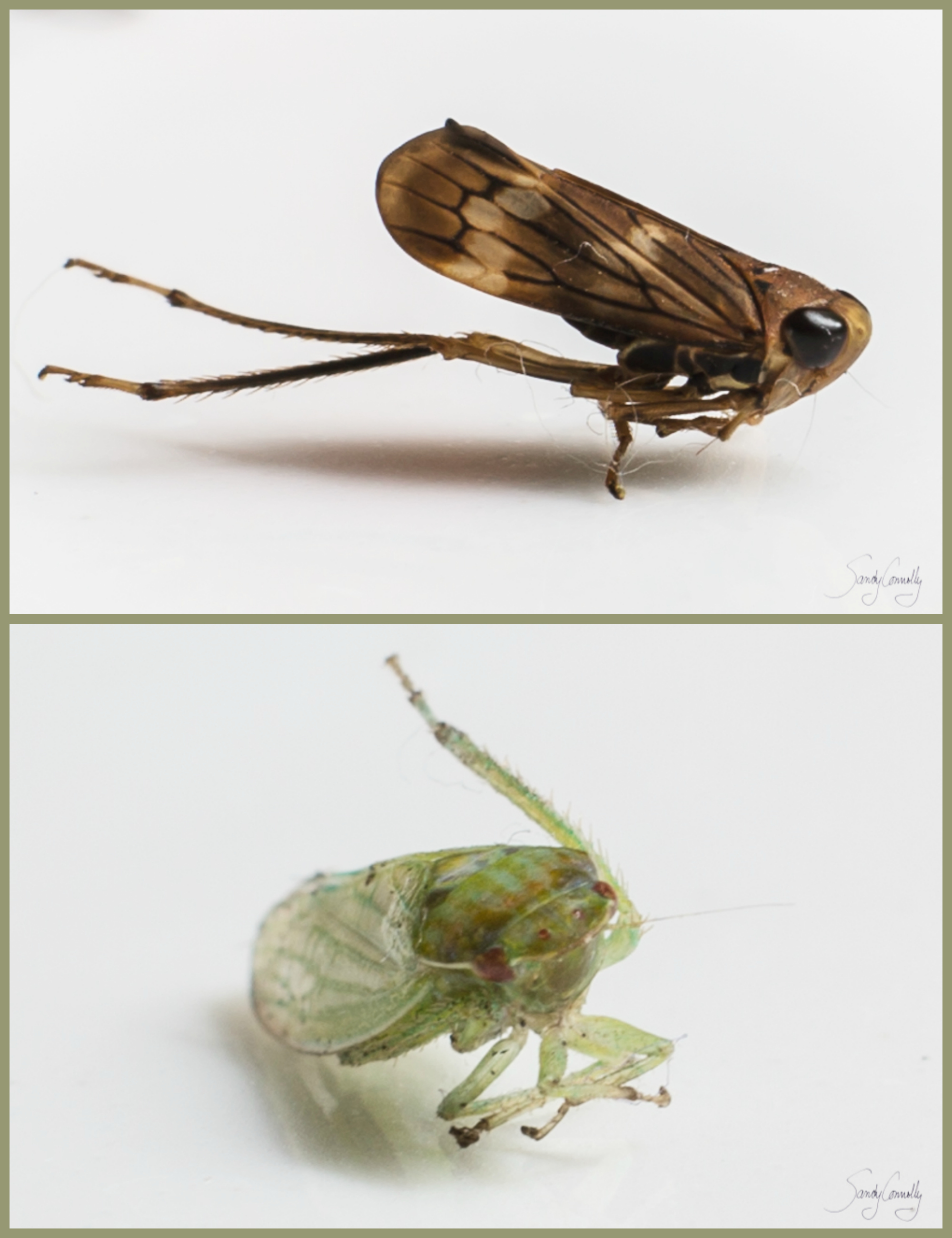 Dead Leafhoppers