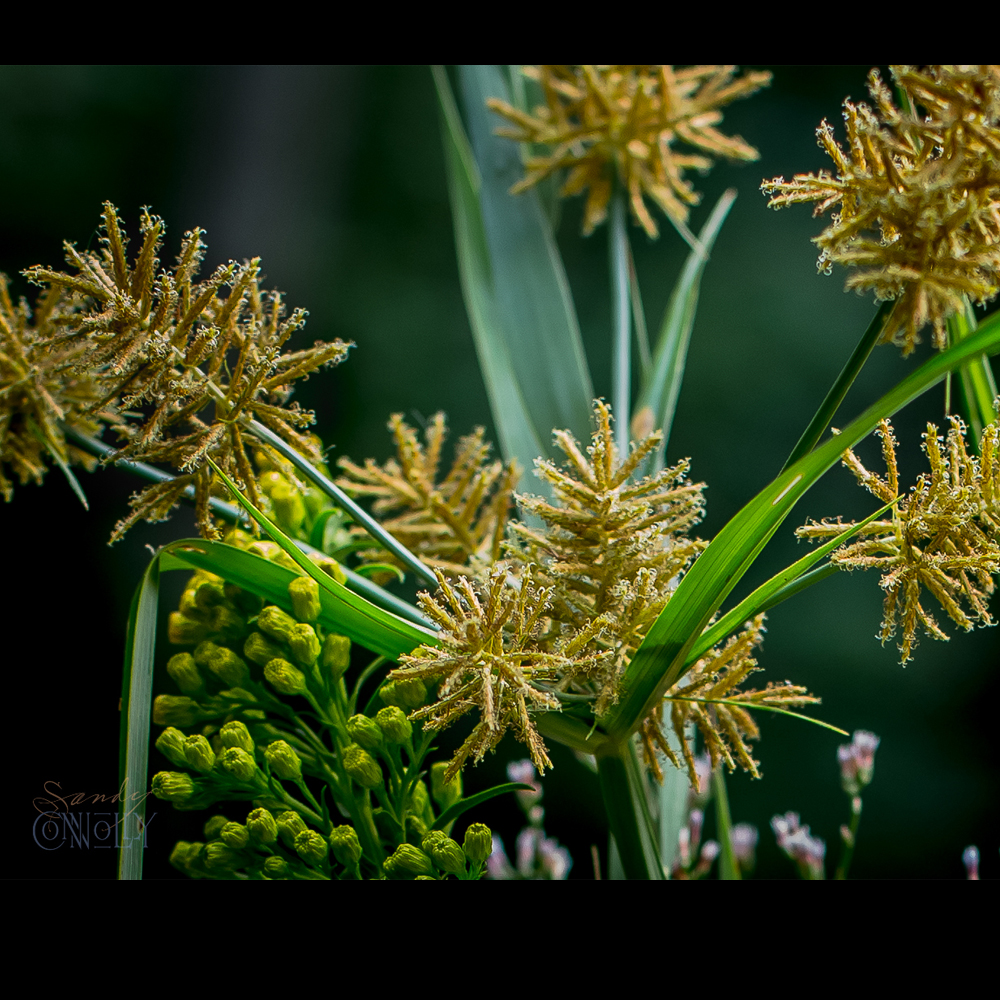 Cyperus odoratus,, Umbrella Sedge