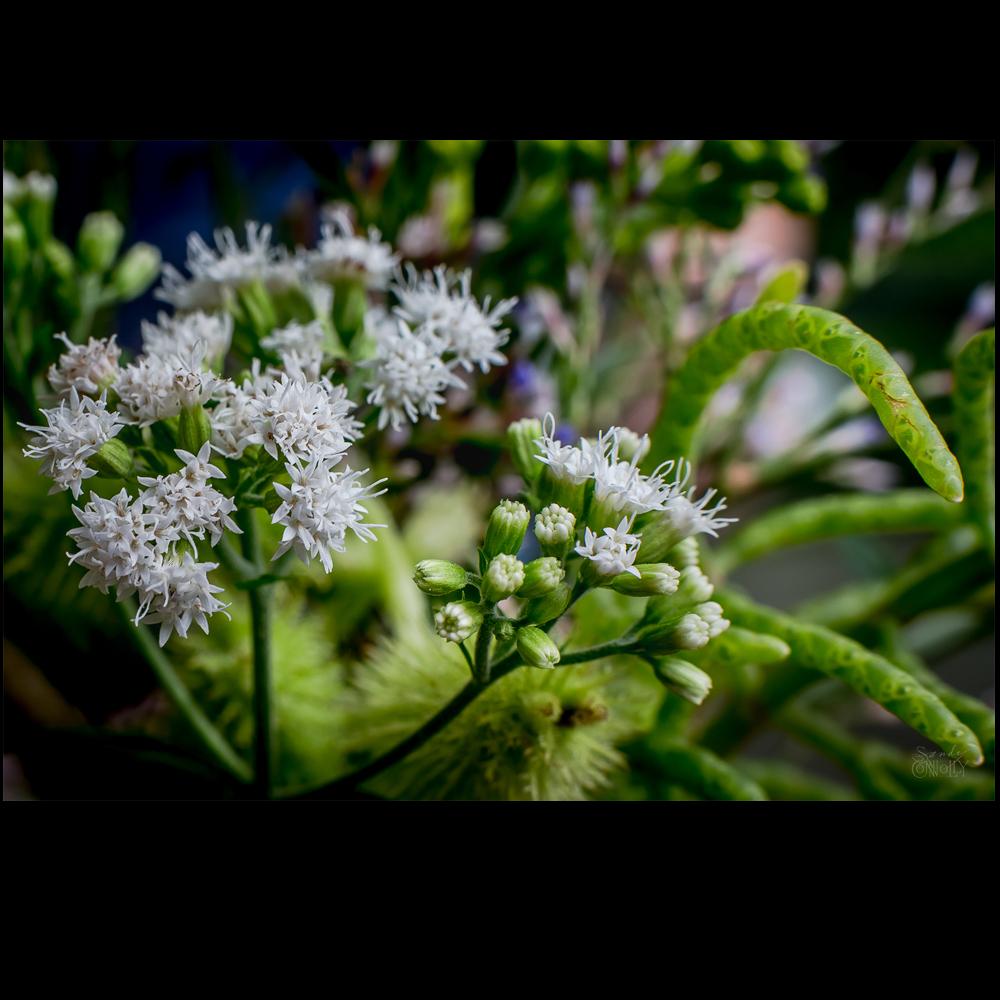 Snakeroot & Slender Glasswort